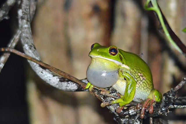 A male tree frog calling to the females, to make more baby tree frogs.