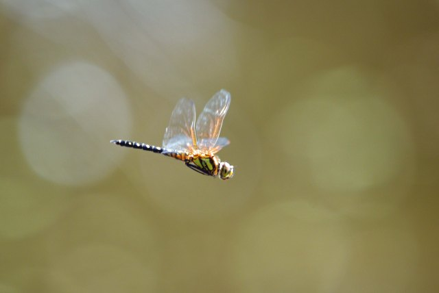 Flying dragonfly, freshwater lake, cairns. Photo: David Clode.