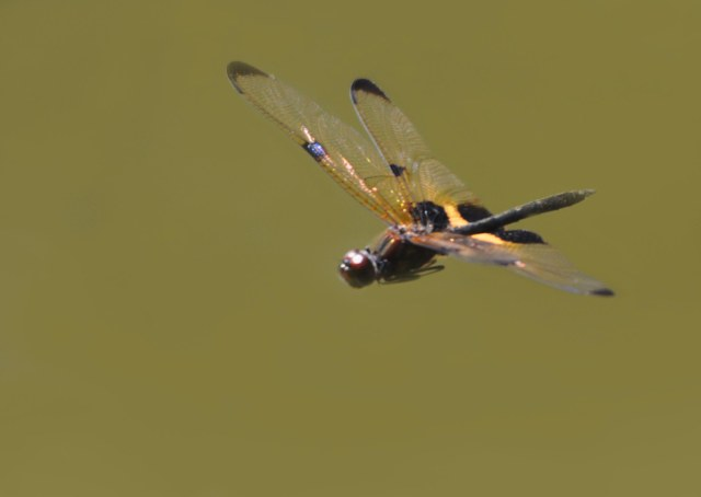 Yellow-striped Flutterer flying. Centenary lakes, Cairns. David Clode.