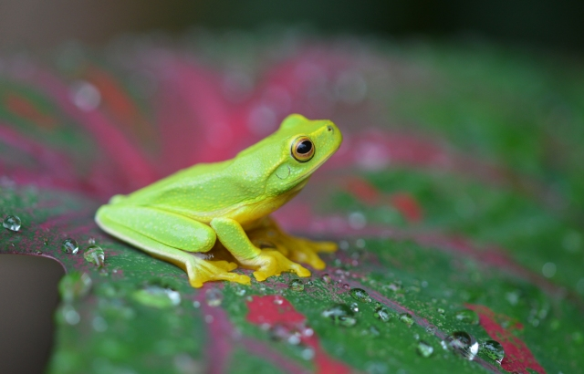 A Dainty tree frog sits on a caladium leaf.
