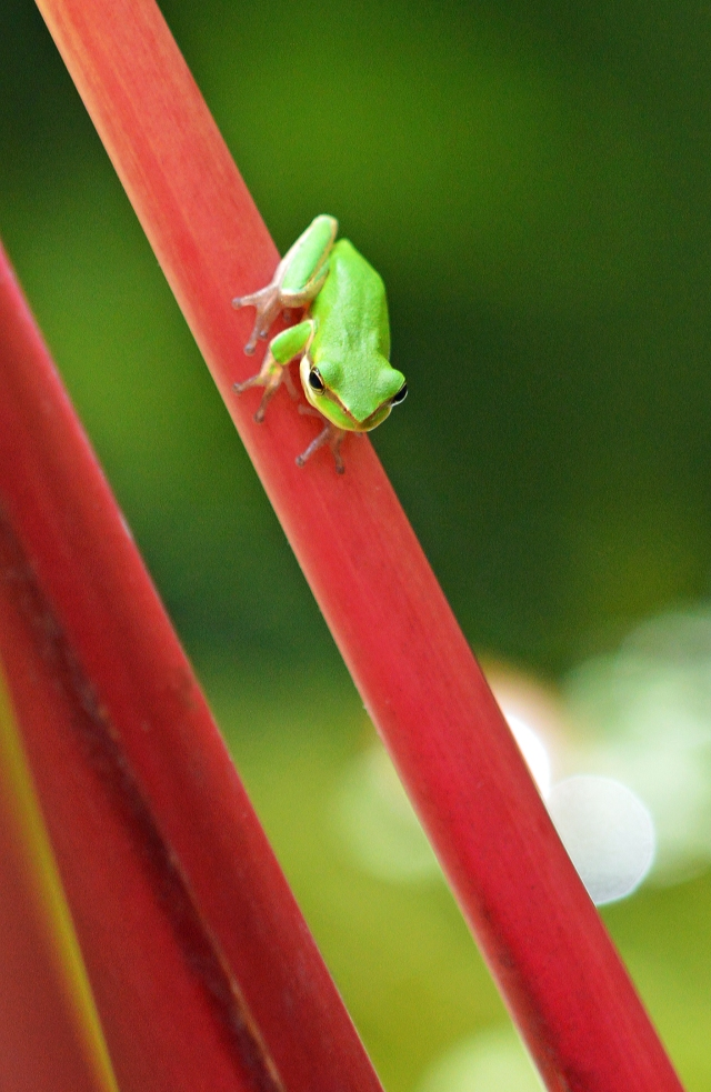 """That's a long way down!"". Norhtern dwarf tree frog Litoria bicolor. Cairns. Photo: David Clode."