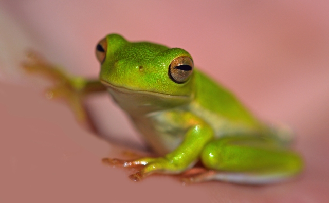 Green tree frog.