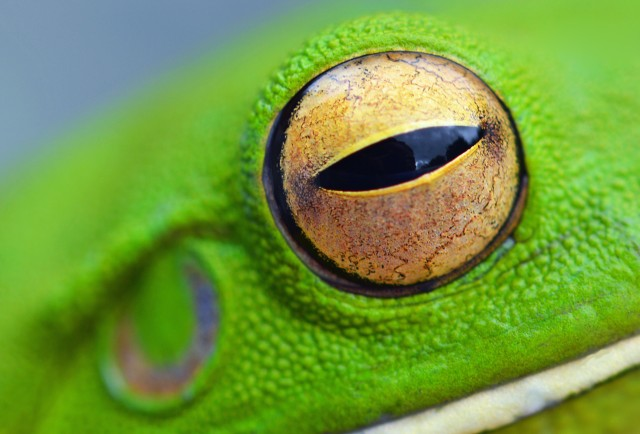 Close up photo of the eye of a White-lipped tree frog. Photo: David Clode.