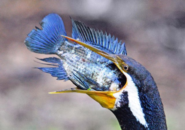 A darter swallowing a tilapia fish it has caught. Freshwater lake, Cairns. Photo: David Clode.