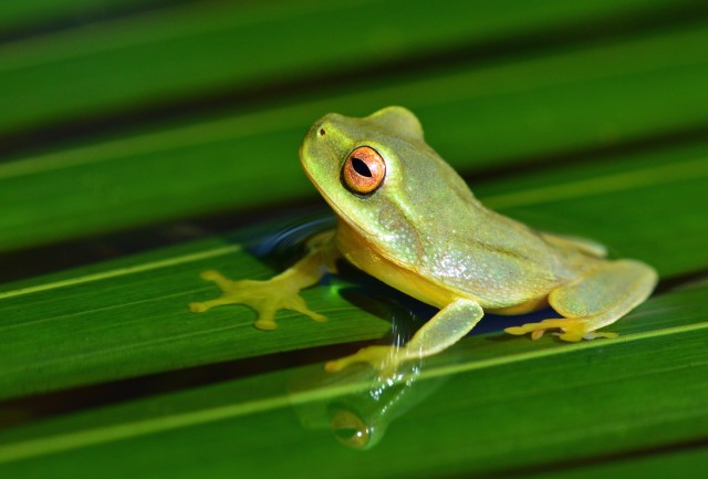 Dainty or graceful tree frog Litoria gracilenta. Photo: David Clode.