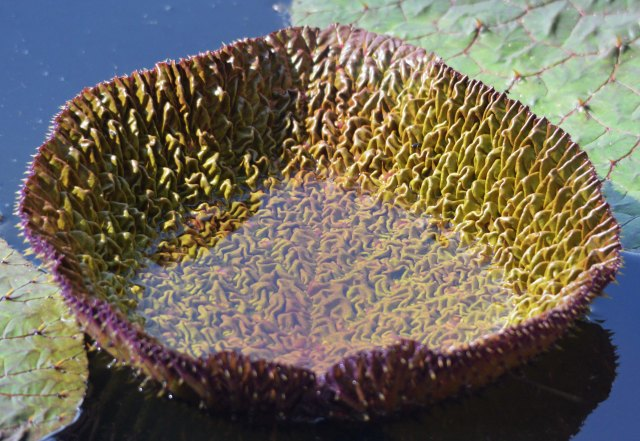 New leaf, water lily Euryale ferox.. Photo: David Clode.