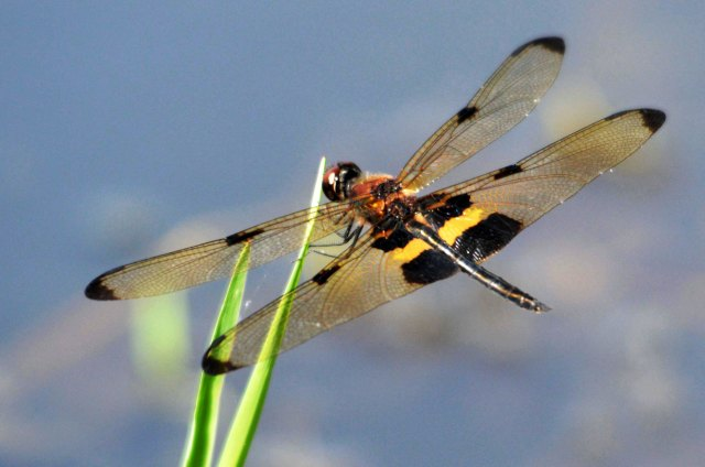 Yellow-striped Flutterer Rhyothemis phyllis. Photo: David Clode.