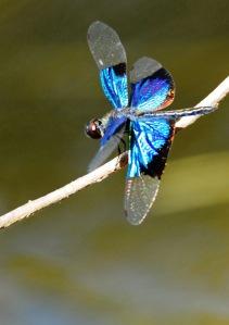 Jewel Flutterer. Cairns, Centenary Lakes, photo: David Clode.