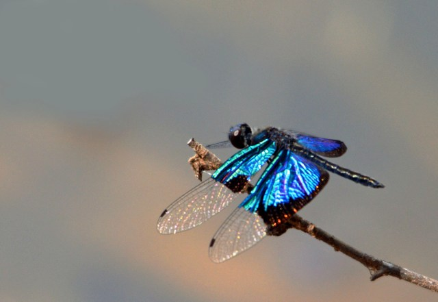Jewel Flutterer dragonfly Rhyothemis resplendens. Centenary lakes, Cairns. Photo: David Clode.