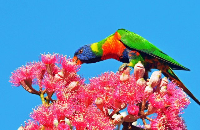 Rainbow Lorikeet, Cairns. Photo: David Clode.