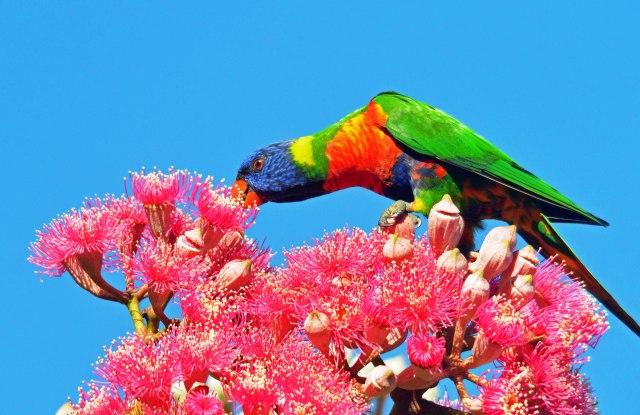 Rainbow Lorikeet, Cairns. Photo: David Clode.