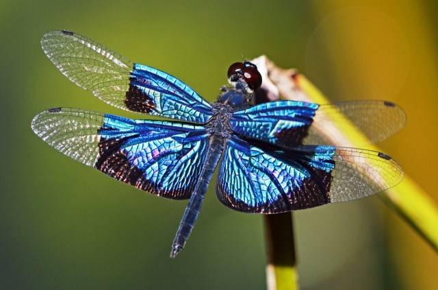Jewel Flutterer dragonfly. Photo: David Clode.
