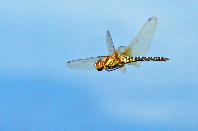 Dragonfly in flight. photo: David Clode.