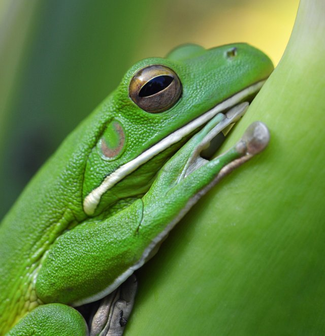 White-lipped Tree frog. Photo: David Clode.