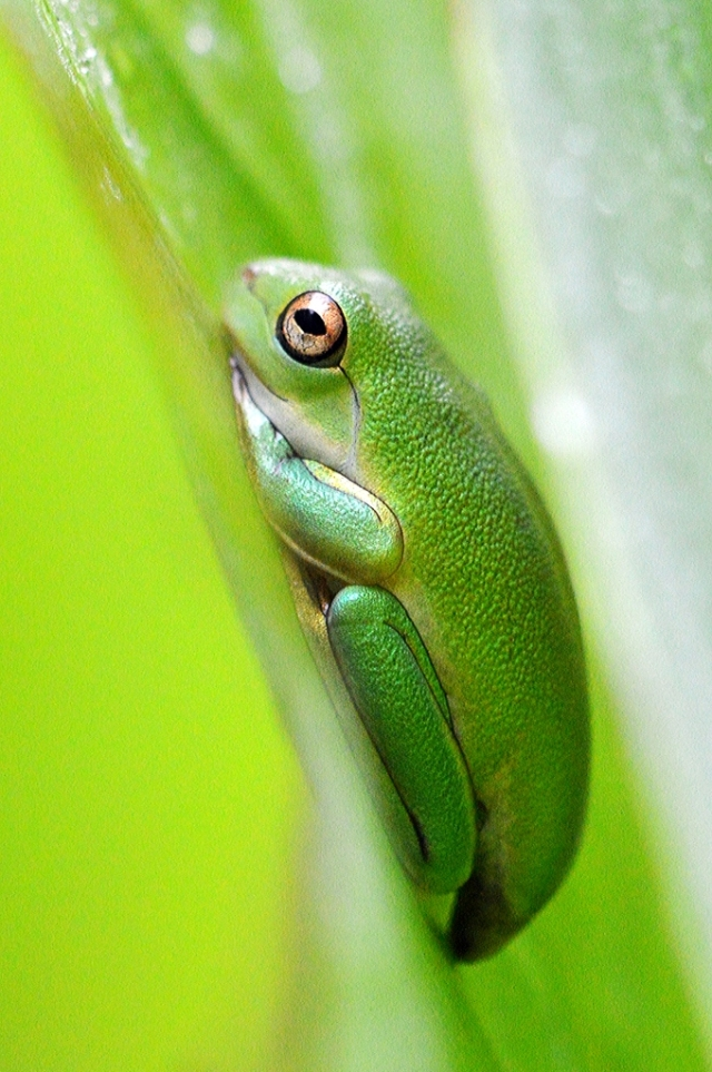 A newly emerged baby treefrog has found a nice home between two big tropical leaves. Photo: David Clode.