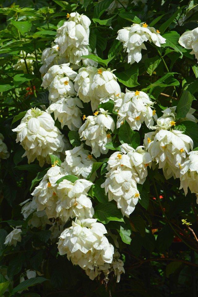 Mussaenda pilippica white form. Cairns botanic gardens.