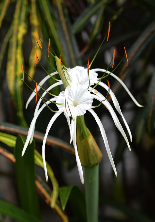 Spider lily Hymenocallis. David Clode.