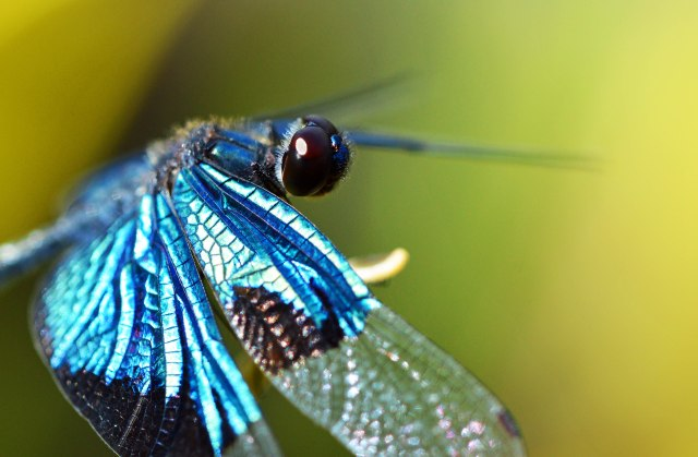 jewel Flutterer dragonfly Rhyothemis resplendens. Photo: David Clode.