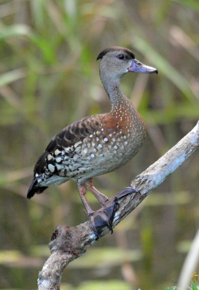 Spotted Whistling Duck. photo: David Clode.