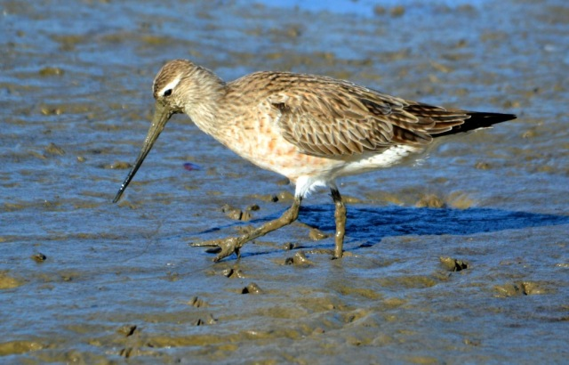 """""""Walking through this mud is such a drag!"""". Cairns Esplanade mudflats."""