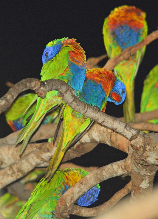 Rainbow Lorikeets sleeping in a tree in Cairns. Photo: David Clode.