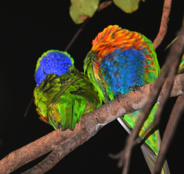 Rainbow Lorikeets sleeping in a tree in Cairns.