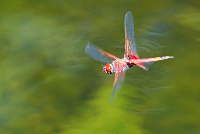 Trapezostigma loewii dragonfly flying. Photo: Cairns Botanic gardens, David Clode.