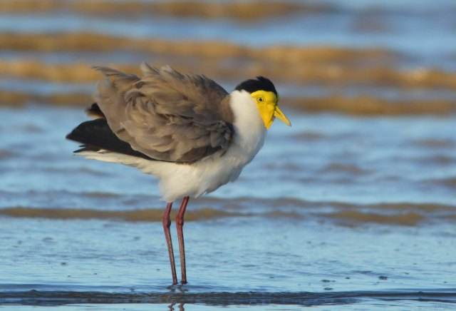 Pensive plover. Masked Lapwing or Spur-winged Plover. Cairns Esplanade mudflats. Photo: David Clode.
