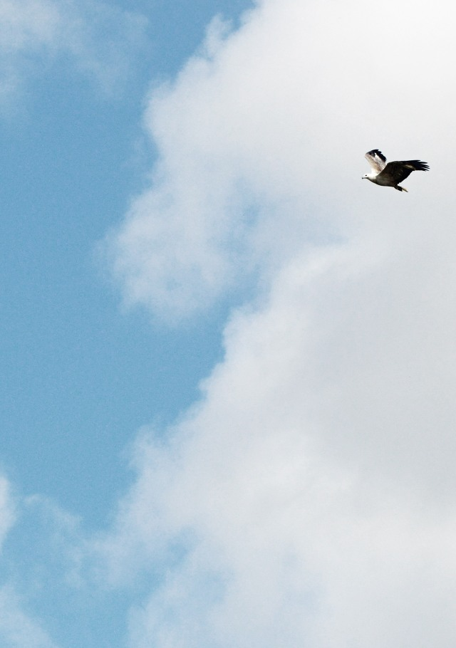 Flying eagle background for Christian possters e.g. Isaiah 40:31.. White-bellied Sea Eagle. Photo: David Clode.