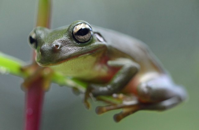 Green Tree Frog Litoria caerulea. Photo: David Clode.