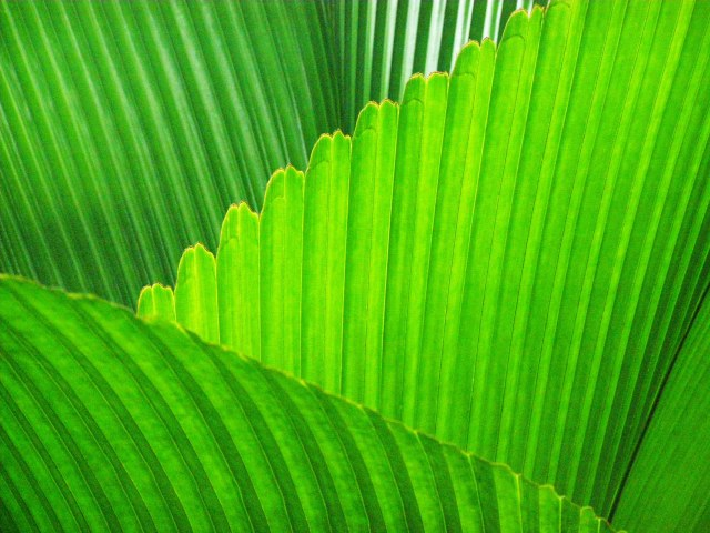 Johannesteijsmannia palm leaves. Photo: David Clode.