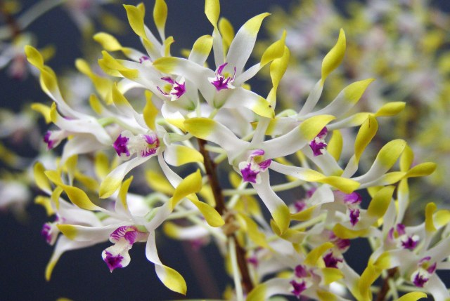 Dendrobium canaliculatum, tea tree orchid, with very small and graceful flowers. Photo: David Clode.