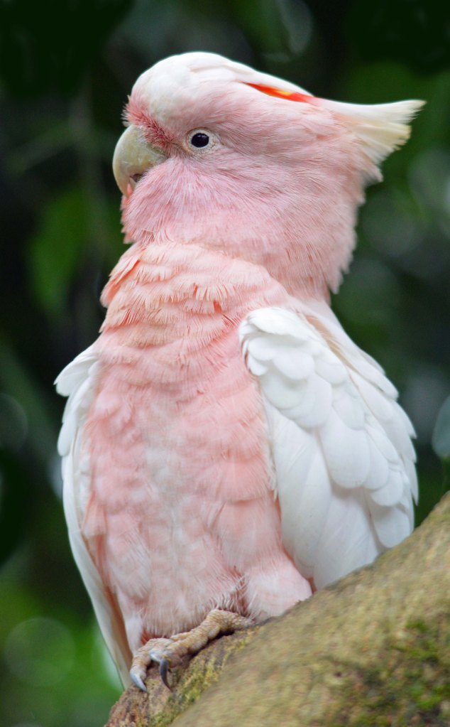 Major Mitchell Cockatoo. Photo taken at Birdworld Kuranda.