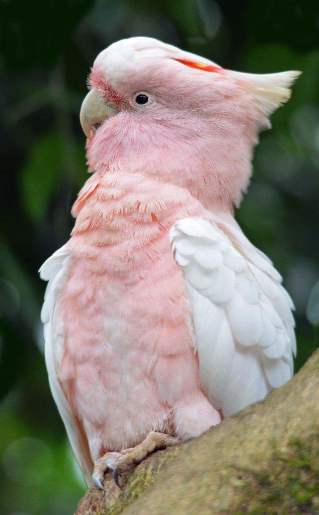 Major Mitchell Cockatoo. Photo taken at Birdworld Kuranda.