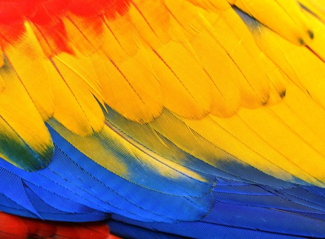 Close up of the plumage of a Scarlet Macaw. Central and South America. Photo: David Clode, taken at Birdworld Kuranda.