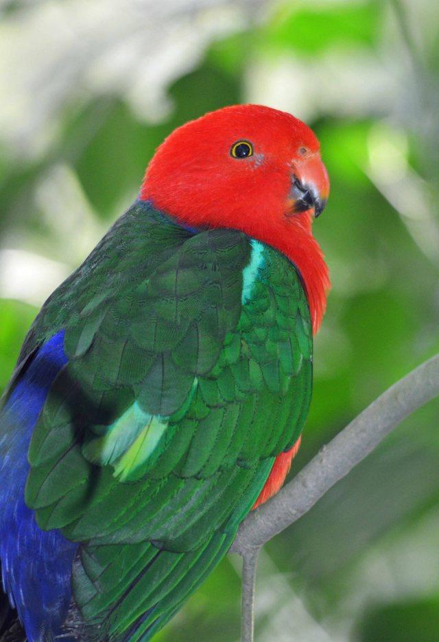 King Parrot. Birdworld Kuranda.