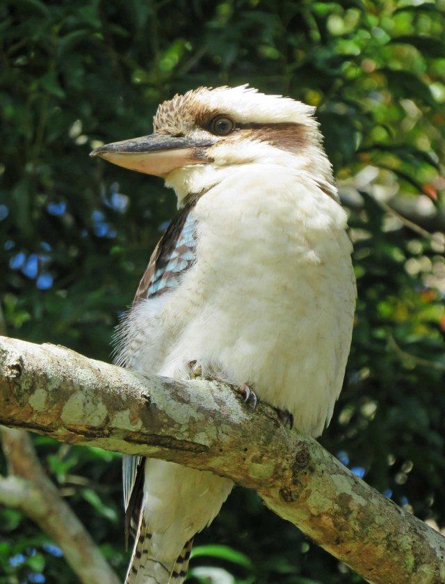 Kookaburra, Kuranda. Photo: David Clode.