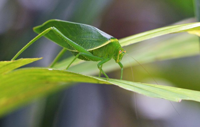 A leafy Katydid, which mimics a leaf which works as camouflage. Photo: David Clode.