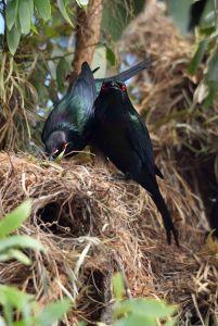 Metallic Starlings. Building the nest. Photo: David Clode.
