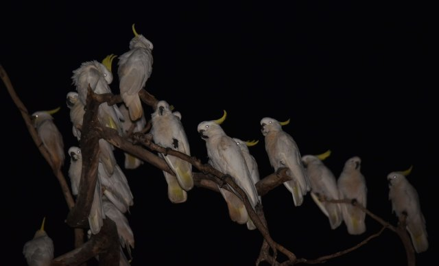 Cockatoos. Photo: David Clode.