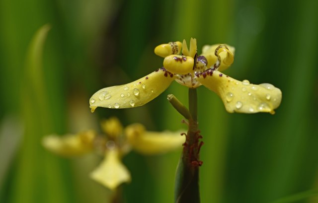 Yellow tropical Iris. Photo: David Clode.