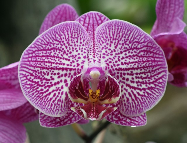 Phalaenopsis orchid. Photo: David Clode.