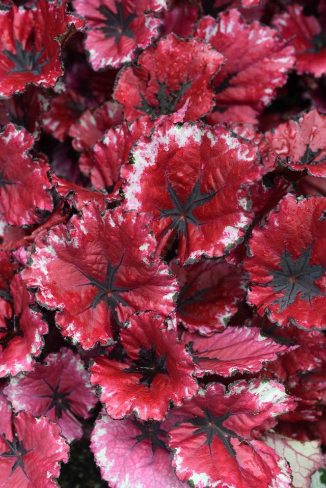 Begonia leaves. Photo: David Clode.