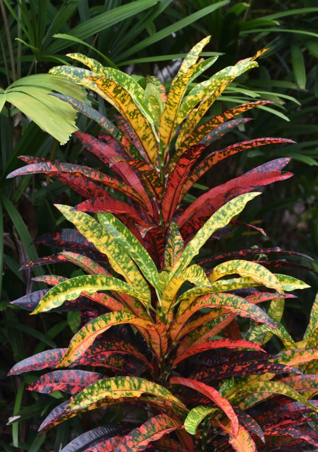 Croton leaves. Photo: David Clode.