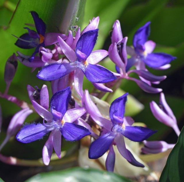 Cochliostema odoratissimum, native to Ecuador. Cairns Botanic gardens.