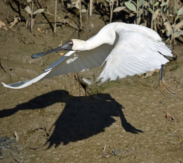 Spoonbill in flight. Photo: David Clode.