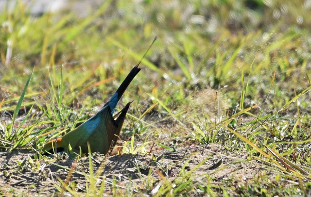 Bee-eaters often nest in river banks, or even in flat ground if there are no river banks. The dig and make tunnels - in this phot the bird is feverishly digging and kicking up sand. Cairns cemetery. Photo: David Clode.