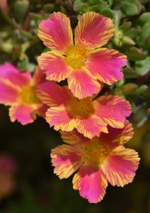 Portulaca grandiflora. Photo: David Clode.