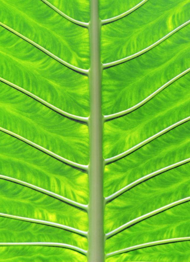 Giant solar panel - Cunjevoi leaf. Photo: David Clode.