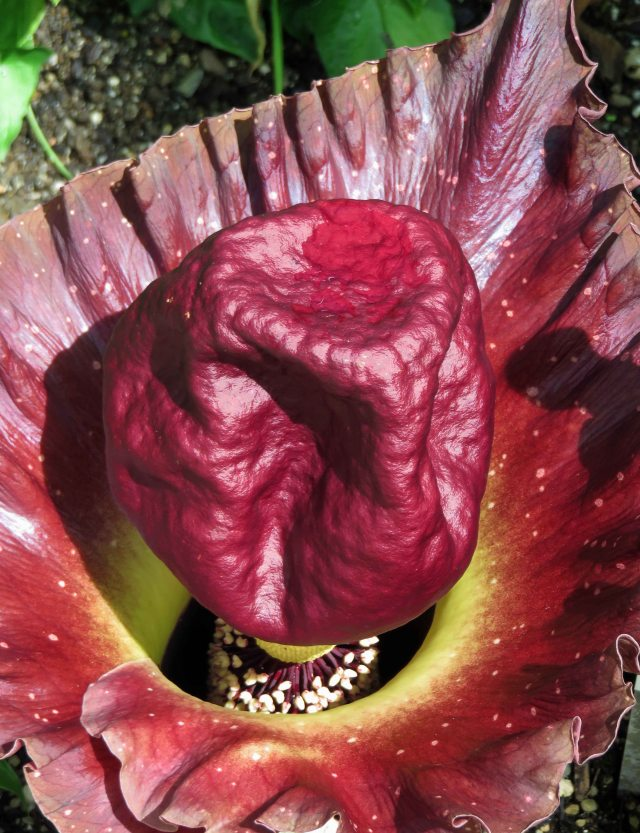 Amorphophallus paeoniifolius flower. Photo: David Clode.